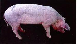 """养猪案例""""怎样看待替米考星预防蓝耳论"""""""