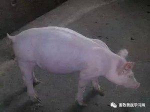 猪胀气,最全最牛的处理的方式