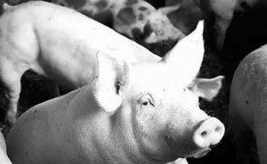 养猪混饲给药7大学问