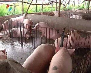 2017养猪,这三种养猪人不赚钱,你是不是