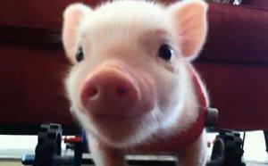 小猪一断奶就炸毛的情况怎么搞?