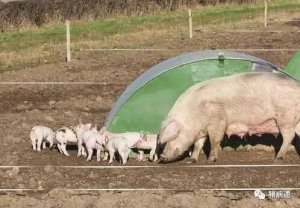 养猪用了那么多年的限位栏,原来害处远远多于益处!