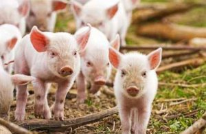 加裕养猪评论--夏季市场仍有利可图