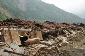大风袭击,近200头猪受伤、6间猪舍倒塌,
