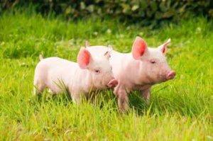 下半年猪价将回暖大涨