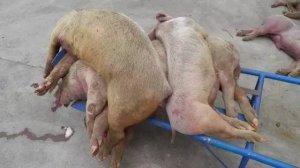 为什么猪病发病率越来越高?越来越难治?