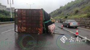 货车侧翻群猪雨中漫步高速路 交警忙疏通