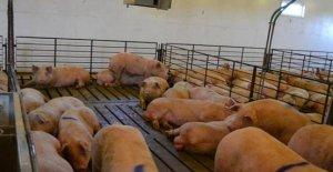 公猪应激源细节管理,保证公猪精液质量(附应激解决方案)