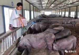 猪腹式呼吸治疗有门道,巧妙使用氨茶碱,轻松又简单