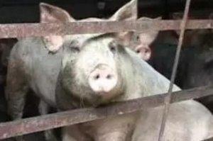 猪价上涨 压栏要适度 以免给后市供给端增压,生猪产能不过剩 下半年猪价表现不会太差!
