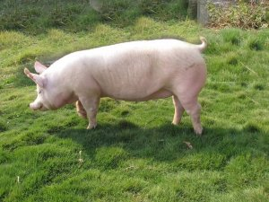 如何建立健康高产母猪群?从这几方面入手