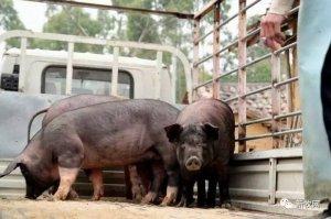 悲剧!猪被中介骗走,卖猪款该找谁要?