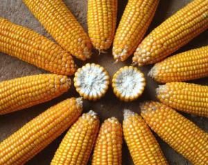 玉米市场供给压力增大,玉米下行趋势难改,玉米价格要跌到什么时