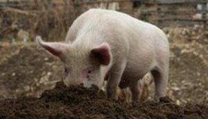 猪为什么喜欢吃土,原因其实很简单!