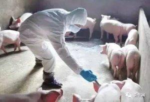 为何猪瘟免疫合格率会相差40%?看这就明