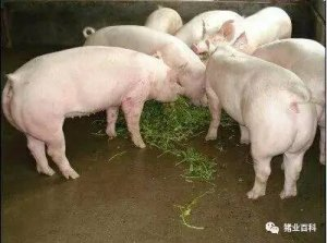 夏季猪群不吃食,找对原因才能轻松应对