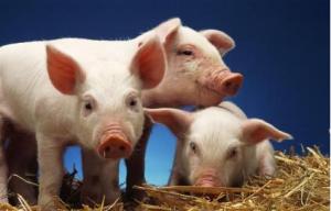猪价走低、环保加压,千钧一发之时,你还养猪吗?