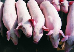 中法生猪养殖基地有望落户高邮