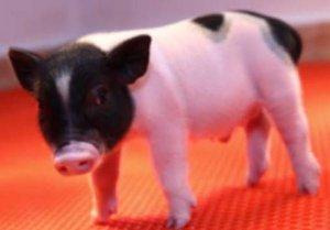 猪器官移植更近一步:国际团队克隆出首批不含内源病毒的活猪