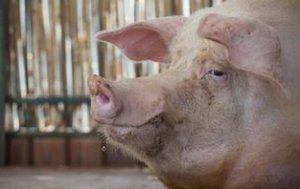 立秋后,养猪人应注意这几件事,尤其第四件事!