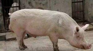 """淘汰猪""""卖高价,两招轻松搞定,猪贩子都无语了!"""