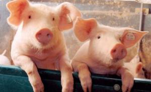 冯永辉:猪价上涨不可能持续到国庆节