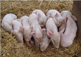 【猪兜谈猪价―8.13】猪价暂稳,更应该关注这几个问题!