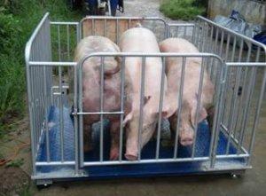 母猪存栏量不断减少 但是肥猪的供应量不一定少 行情不乐观啊!