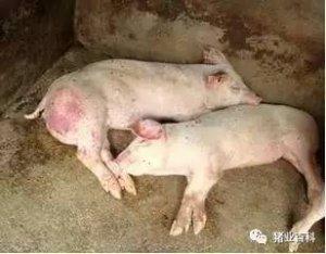 必看:猪体温下降的原因和救治方法!