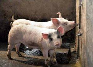 给猪打针常犯的错,你中招了吗?