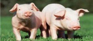 【养猪闲谈】目前农村养猪的两大趋势