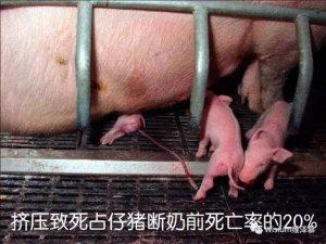 仔猪被压死是产房护理没做到位吗?