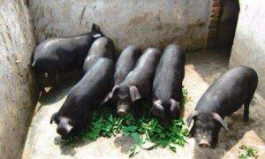 岳西黑猪成为安徽首个畜牧类国家地理标志
