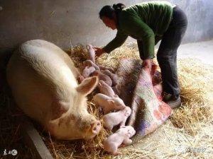 母猪要不要助产,怎么