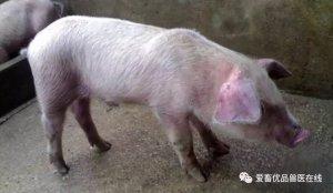 初秋猪场管理,做好猪口蹄疫预防是关键