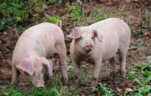 三种生猪疾病都会出现腹胀、腹泻症状,养