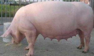 夏季让母猪做一个有营