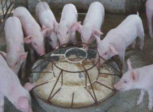 """喂猪""""每天差一点,一年下来就差很多"""""""