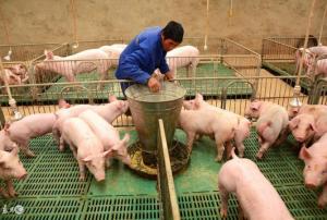 要想提高生猪养殖效益,从这高床养殖开始
