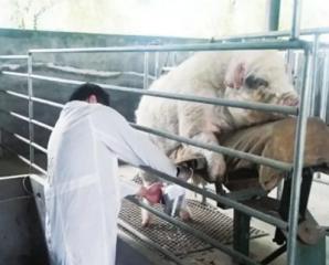 浅谈猪人工授精的技术要领