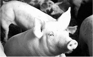 猪四脚划水状神经症状