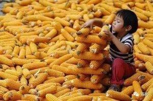 9月玉米价格下跌概率大,新玉米上市,玉