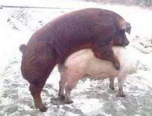 母猪从断奶到配种期间需要哪些特殊照顾?