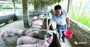 猪发烧了?养殖户千万