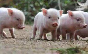输在起跑线上养猪还怎