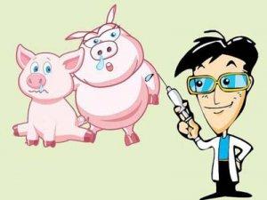 """养猪人一定要懂的""""猪场免疫程序制定的4"""