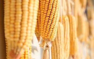 玉米底部震荡局面将被打破?9月要搞事情