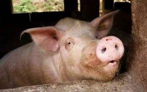 上半年禁养拆迁已淘汰了300万头母猪
