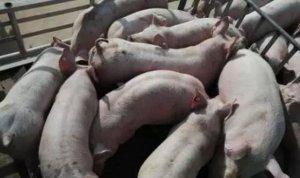 买猪育肥应防备忽悠,和被骗!