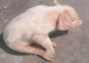 猪场伪狂犬的防控措施 、你做到了吗!